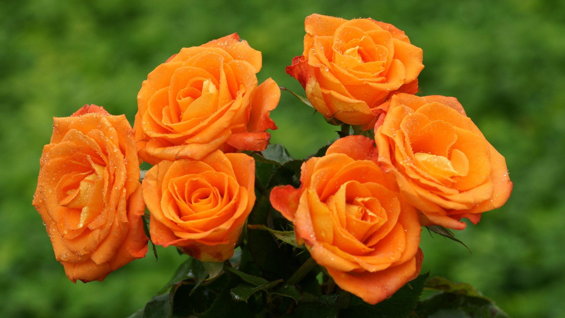 belles roses orange