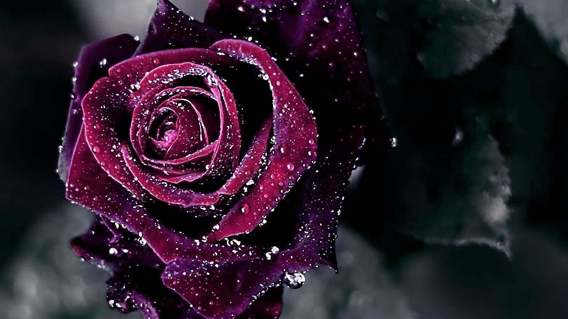 rose wallpaper hd fond ecran hd