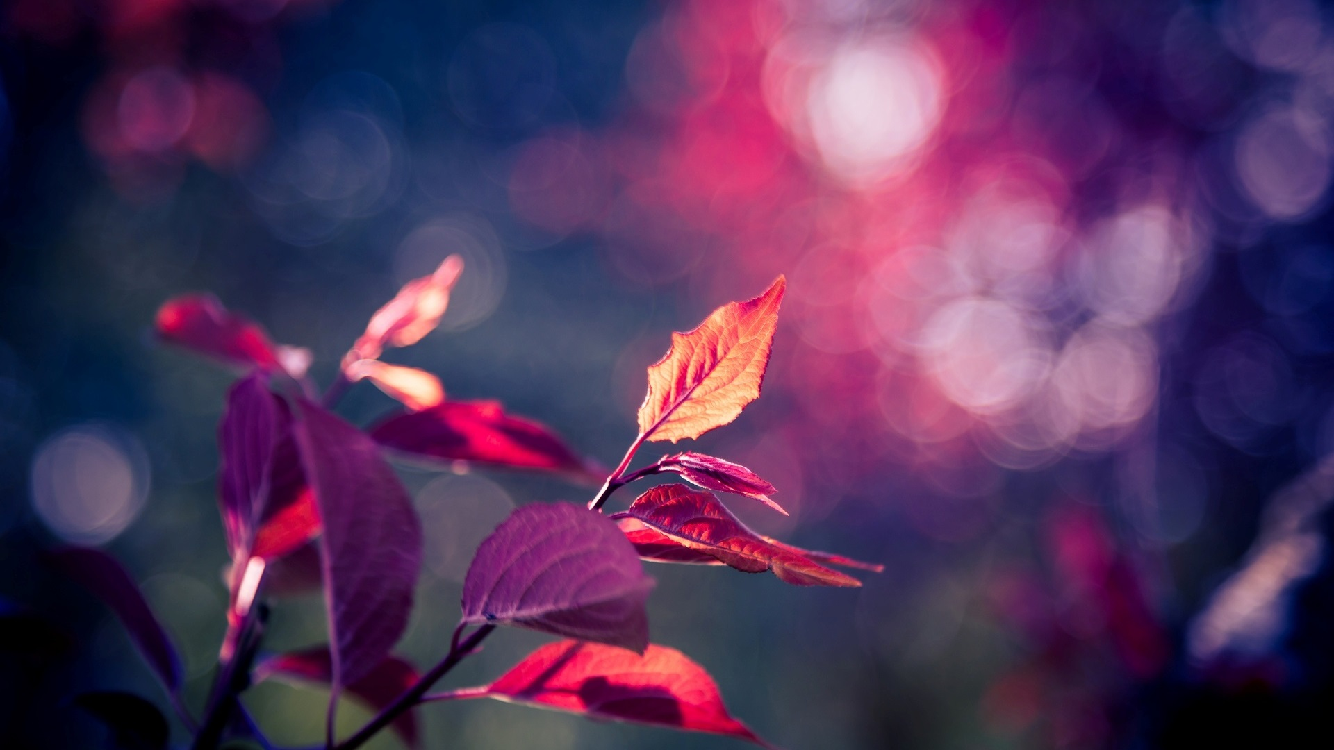 rose feuilles pourpres macro, bokeh fonds d'écran x fonds d