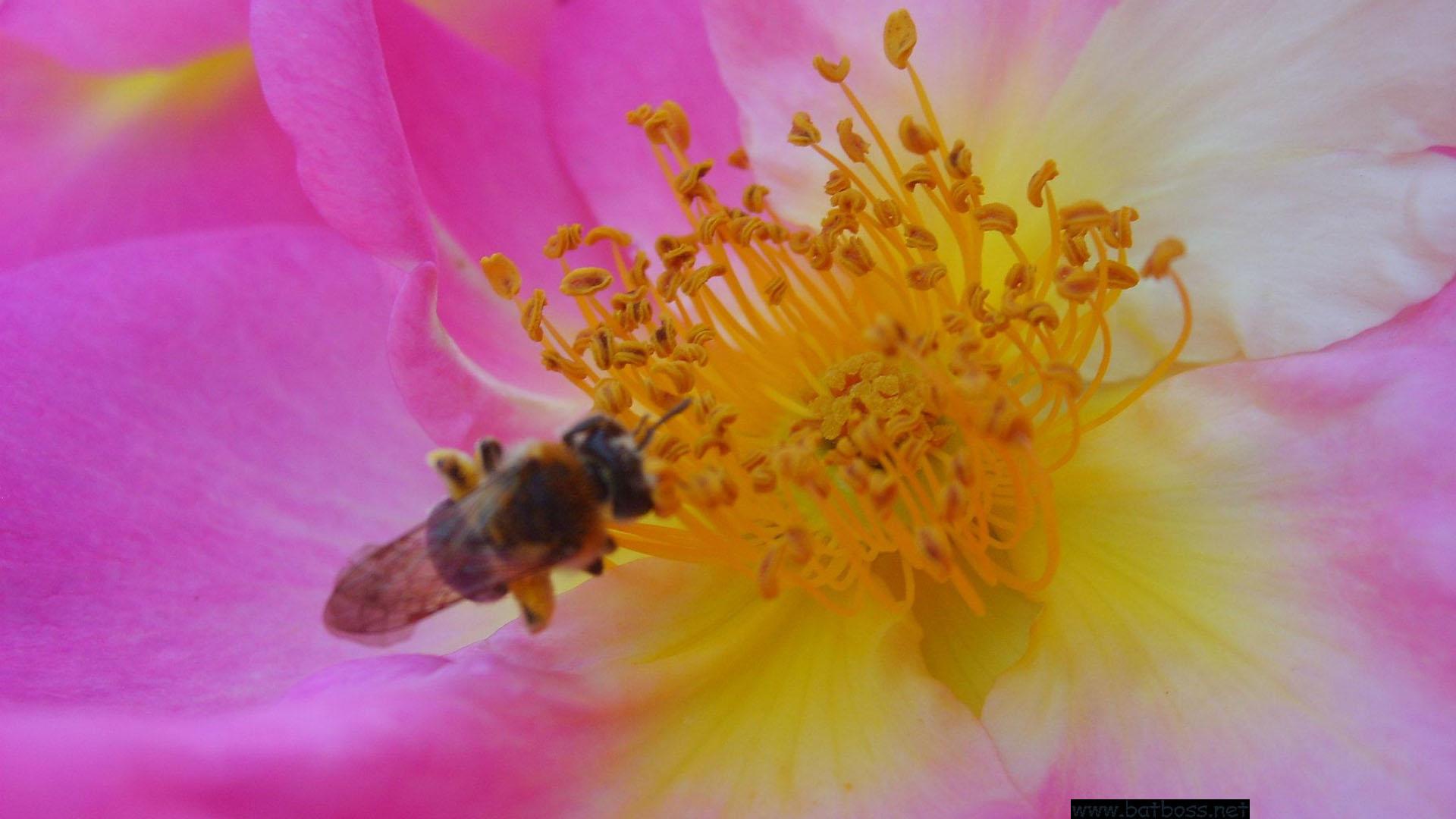 fond d'écran abeille et rose sauvage wallpaper x