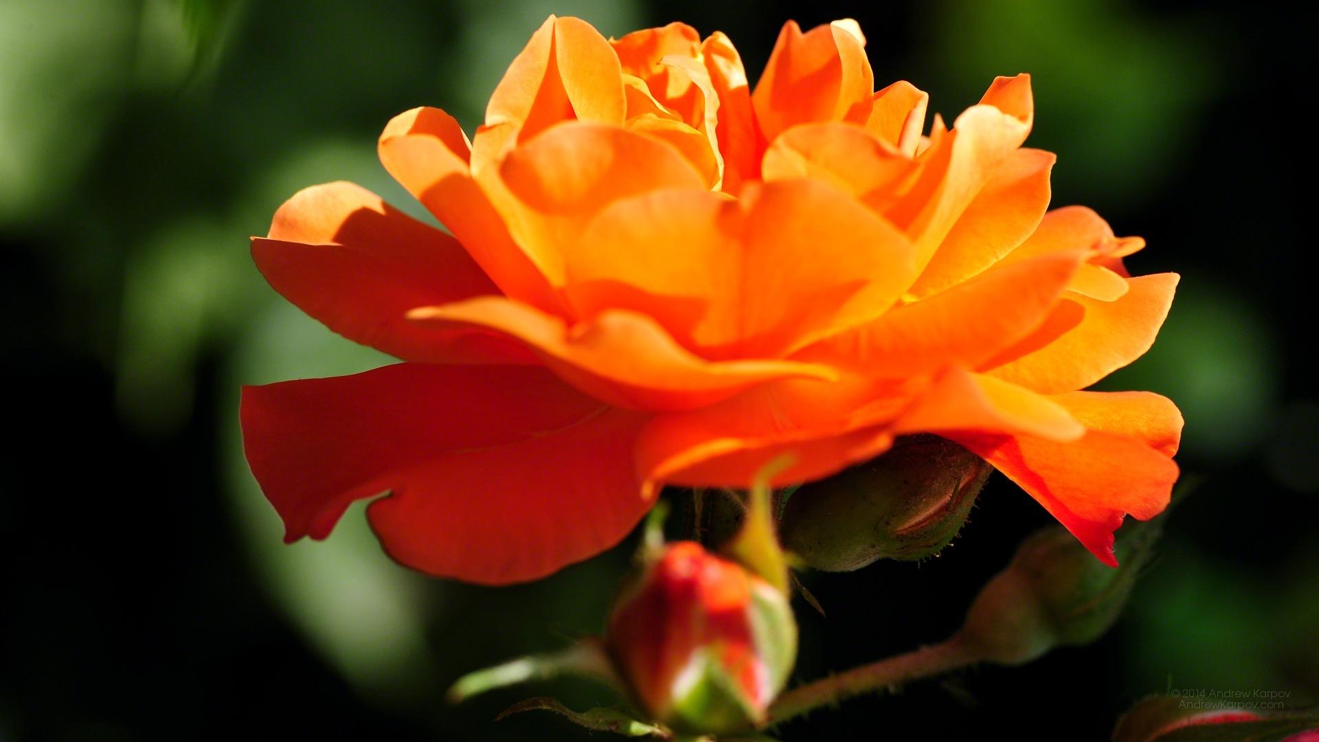 belle fleur rose fond d écran x. fonds d écran gratuits