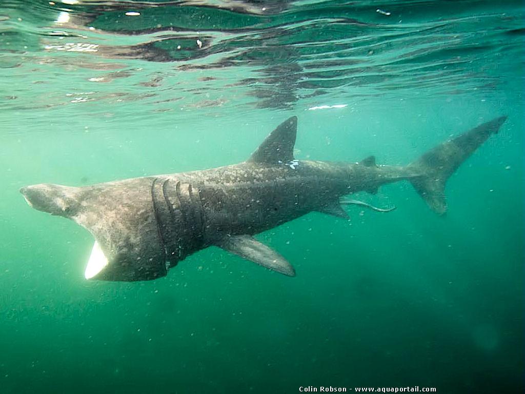 requin-pelerin cetorhinus maximus pleine eau