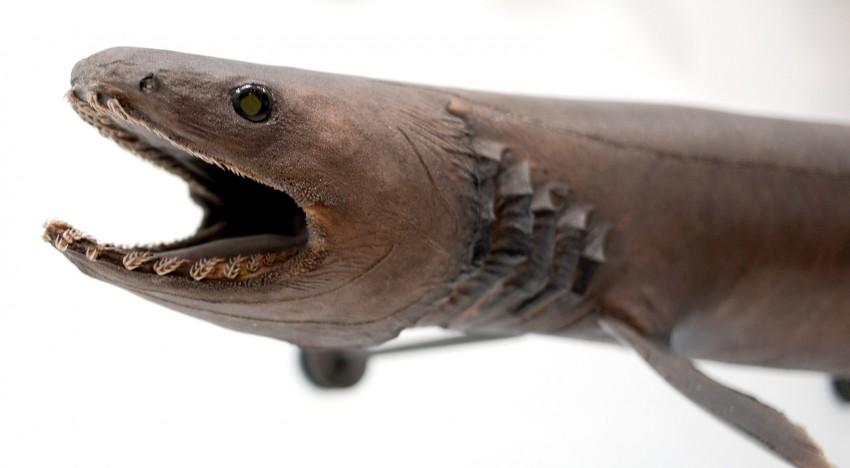 Tout savoir sur le Requin-lézard