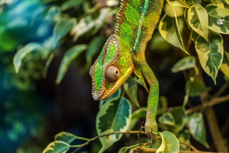 chameleon-384964_960_720